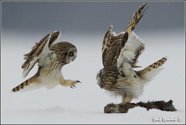 20110201-0429 Short Eared Owl
