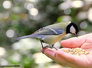 wow a great tit in the hand