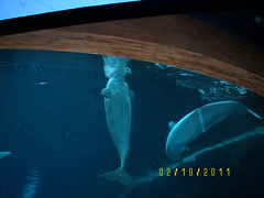 animal, marine mammal, marine biology, whales, dolphins, and porpoises, beluga whale,