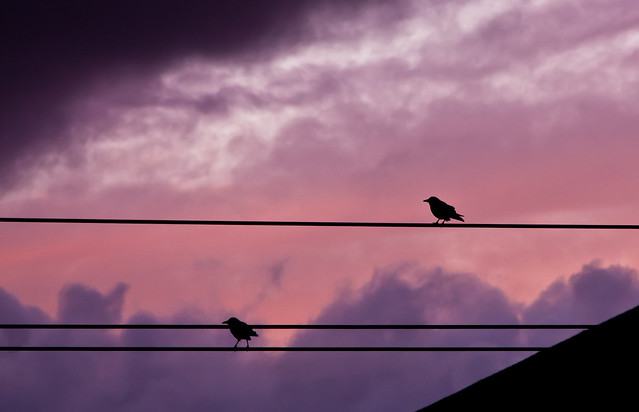 Birds on a Wire (48/365)