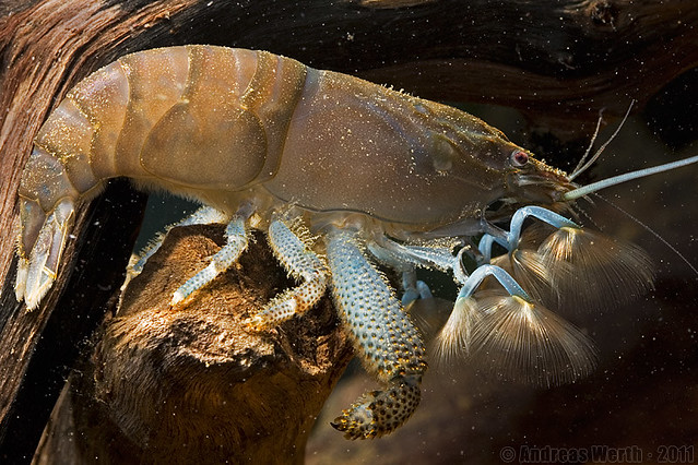 African Giant Filter Shrimp - Gabun-Riesenfächergarnele ...