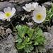 Alpine Buttercup (Alan Park)