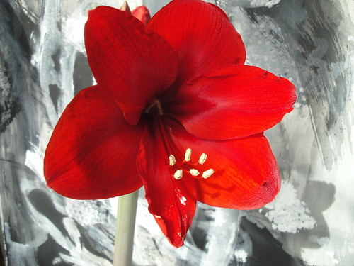 March Amaryllis