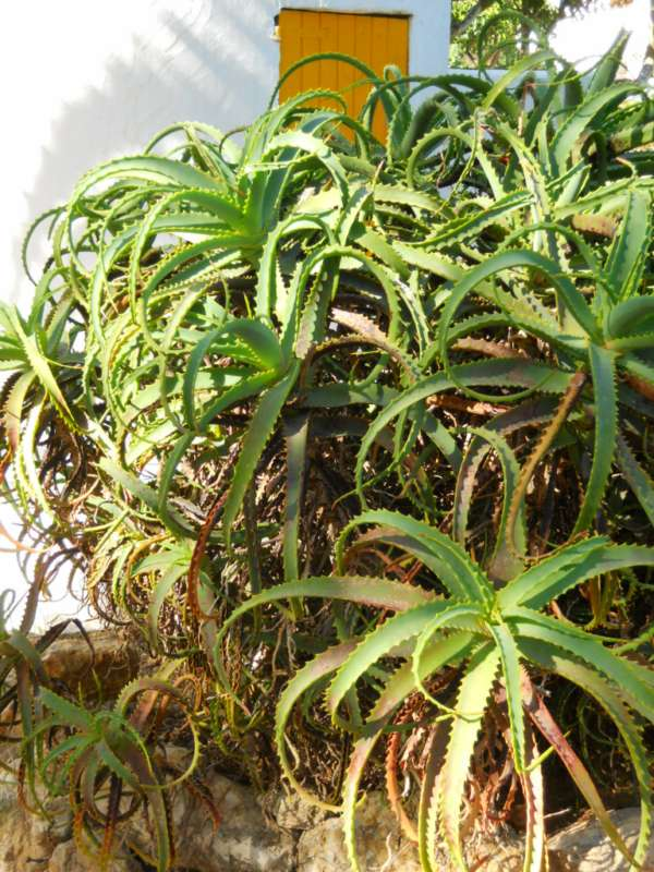 Aloe arborescens v 4