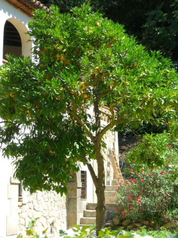Citrus aurantium v 4