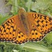 Dark-green Fritillary  (Tony Daniels)