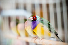 (ViewSonic) Birds for sale