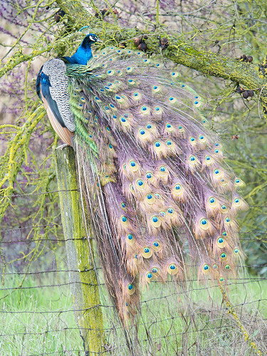 Peacock fanning tail