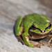 Sierran Treefrog - Photo (c) Natalie McNear, some rights reserved (CC BY-NC)