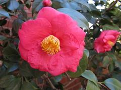 shrub(0.0), rosa 㗠centifolia(0.0), floribunda(0.0), rosa rubiginosa(0.0), camellia sasanqua(1.0), flower(1.0), camellia japonica(1.0), theaceae(1.0), rosa chinensis(1.0), petal(1.0),