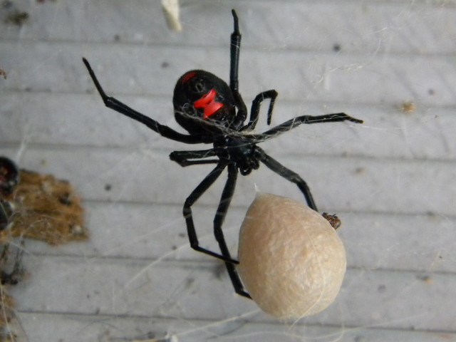 Black widow spider eggs - photo#3