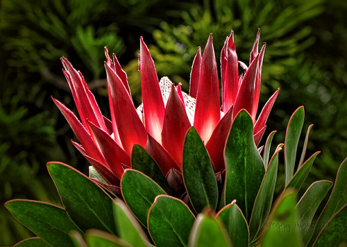 vacation plant flower hawaii maui peggy kingprotea kula proteacynaroides kulabotanicalgarden ©allrightsreserved april2011 ©peggyhughes
