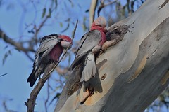 Mr and Mrs  Galah