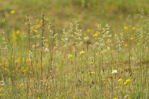 plants flower norfolk places habitat heathland silene breckland otites cranwhichheath