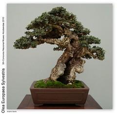 My Little Bonsai Helpful Tips In Growing Indoor Bonsai Trees
