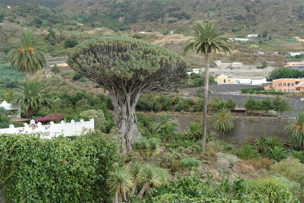 Qué hacer en Tenerife : Drago Milenario de Icod de los Vinos qué hacer en tenerife - 5434496702 e395af86c7 b - Qué hacer en Tenerife para tener unas vacaciones completas
