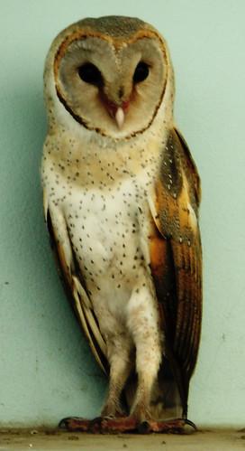 লক্ষ্মী পেঁচা...  Barn Owl !!