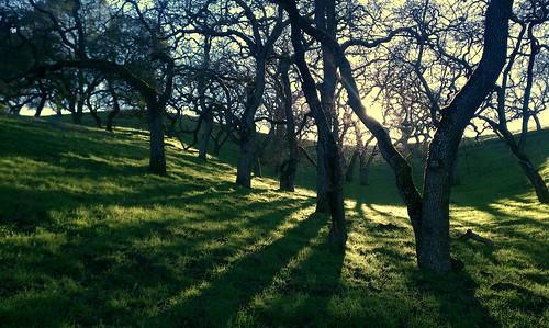 california tree nature landscape scenic bayarea eastbay backlit pleasanthill contracostacounty blueoak
