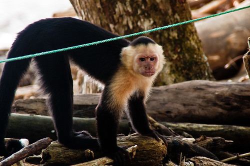Pissed off Capuchin by joeeisner