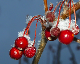 Snow And Choke Cherries