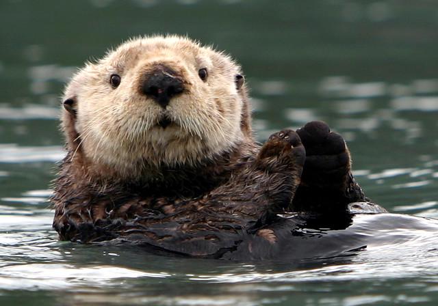 Sea Otter Prince William Sound | Sea Otter in Prince William ... Otter Sounds