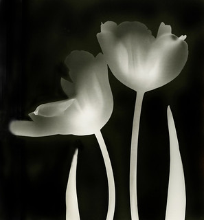 White Tulips:  Photogram