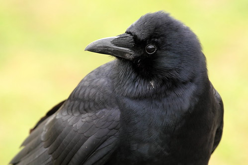 American Crow Closeup