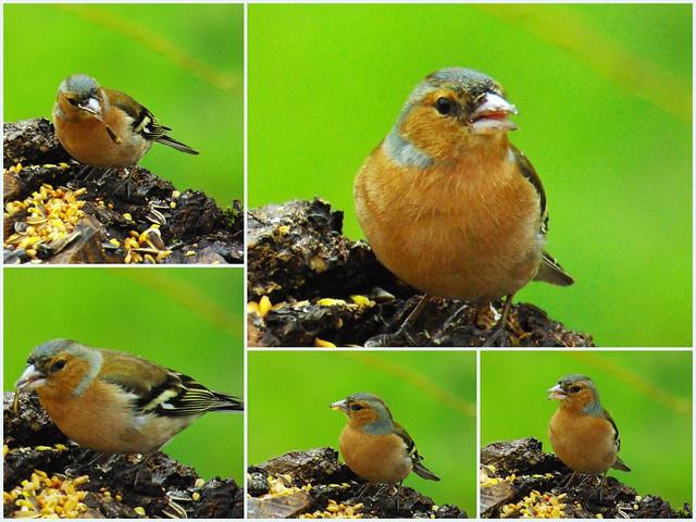 Les oiseaux du jardin seix ari ge pyr n es flickr for Les oiseaux du jardin