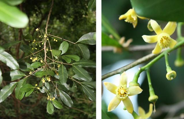 Meliaceae Dysoxylum
