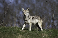 animal, canis lupus tundrarum, gray wolf, mammal, fauna, wolfdog, coyote, wildlife,