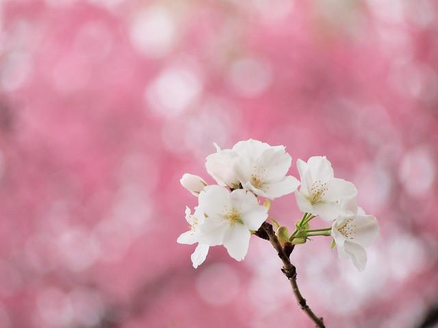 SAKURA  spring has come
