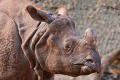 Female rhino
