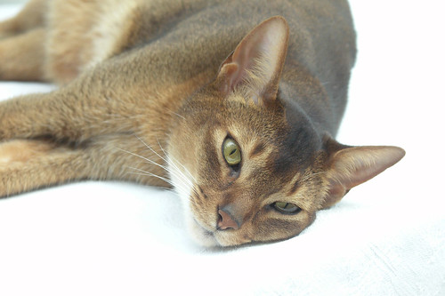 Abyssinian Beauty - 2007