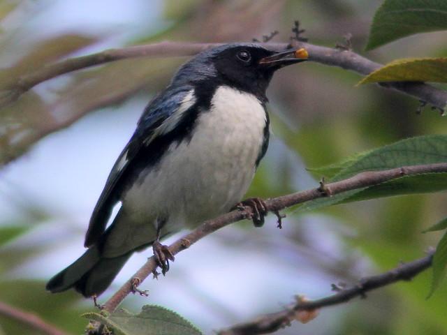 Black-throated Blue Warbler 2-20110414