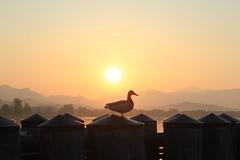Sonnenaufgang mit Ente