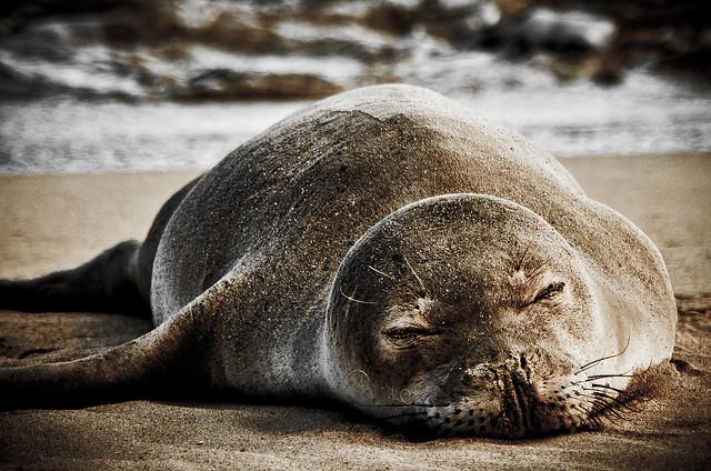 Sleeping Hawaiian Monk Seal