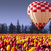 Hot Air Balloon & Tulips