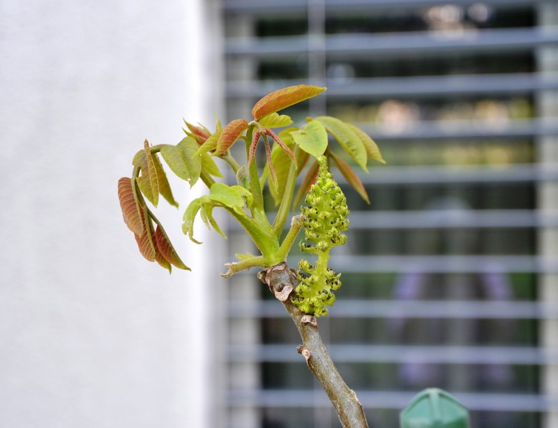 Walnut Tree with Catkin - planted by me from a walnut