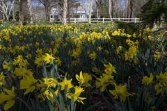 20110415 - Daffodil Forest 2011