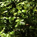 Small photo of American Holly Tree at Woodend