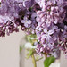 pretty little lilacs.