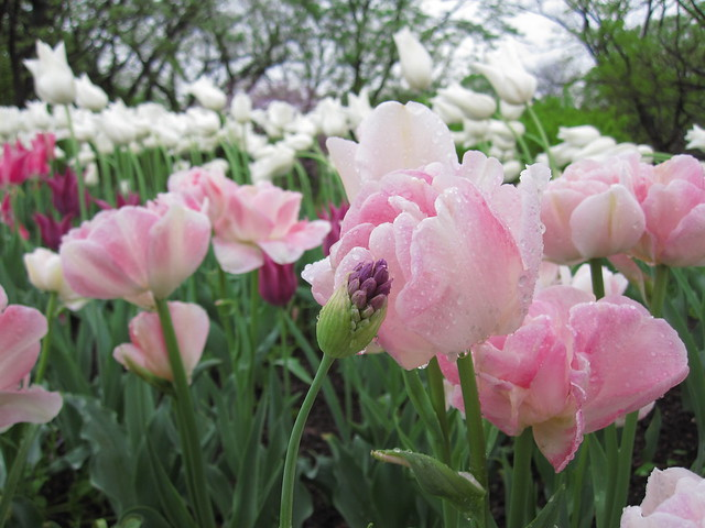 Tulipa 'Angelique' blooms on Lily Pool Terrace. Photo by Rebecca Bullene.