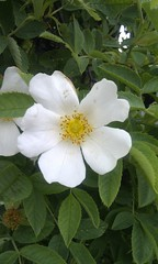 blossom(0.0), rosa rugosa(0.0), shrub(1.0), flower(1.0), plant(1.0), rosa rubiginosa(1.0), rosa canina(1.0), flora(1.0), rosa acicularis(1.0), rosa pimpinellifolia(1.0), petal(1.0),
