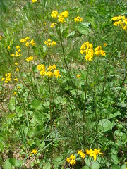 annual plant, flower, yellow, subshrub, herb, wildflower, flora, meadow,