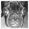 Bug pug face!