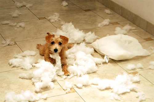 dog with shredded up pillow