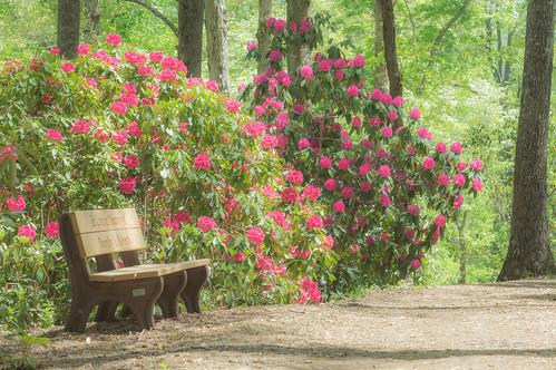 pink red orange white lake flower color macro yellow garden georgia botanical spring minolta north hamilton 100mm rhododendron carolina azalea shrub f28 hamiltongardens chatuge hiwassee 杜鹃花 映山红