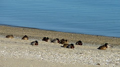 Beach Bum Ducks