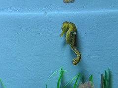 seahorse, animal, marine biology, green, fauna,