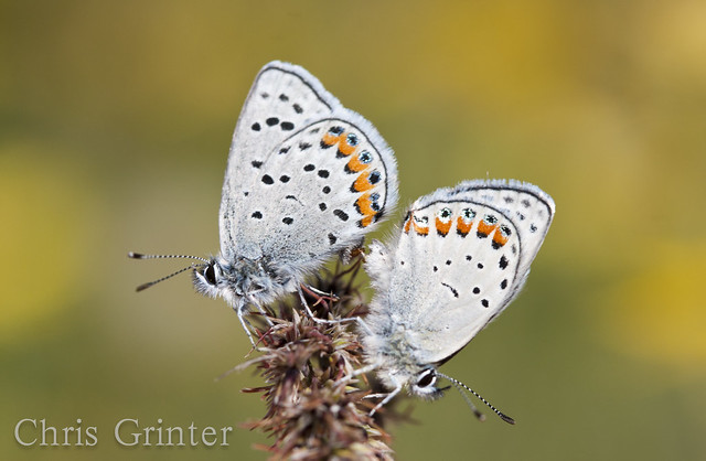Plebejus acmon pair